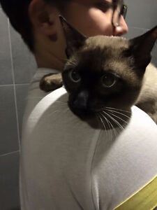 Siamese boy looking for new home