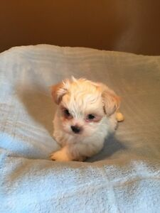 Small Breed Dogs For Sale In Edmonton