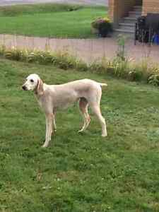 Purebred Standard Poodle for Sale