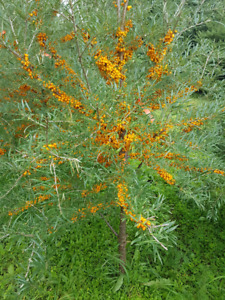 Sea Buckthorn Harvest;  at our Organic and Chemical Free Orchard
