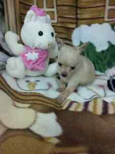 Chorkie And Chihuahua Cuteez Available