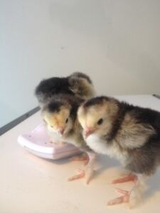 CHICKS CHICKS(HERITAGE CHICKENS) FOR SALE CHICKS ONLY