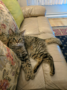 Found! Young tabby cat in Lachine!