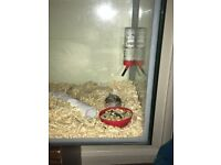2 Russian Dwarf Hamsters Full Tame Complete Set Up