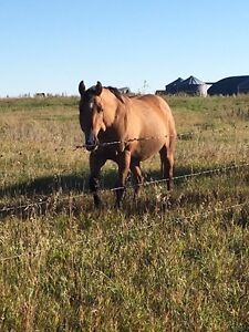 Registered 8yr old QH Dun mare