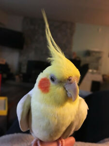 Cockatiel - serious inquiries only!-