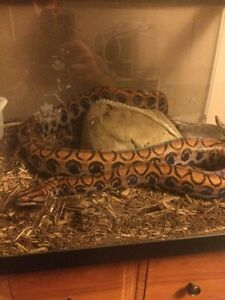 Trade a 6ft rainbow boa for a anaconda Peterborough Peterborough Area image 1