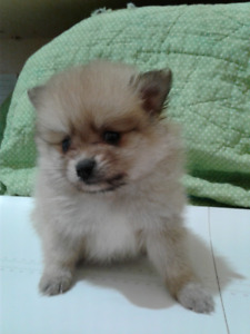 Pomeranian Puppies | Kijiji - Buy, Sell & Save with Canada's #1