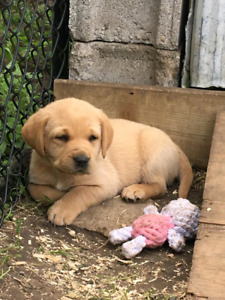 Purebred lab puppies - fox red and yellow (labrador retriever)