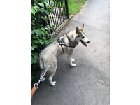 Stunning Alaskan Malamute looking for her forever home