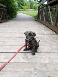Male Cane Corso Fila Azores Mix Puppy looking for new home