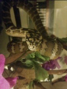 Female Carpet python