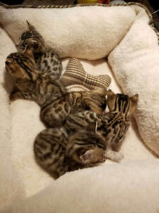 FIVE BENGAL KITTENS FOR REHOMING