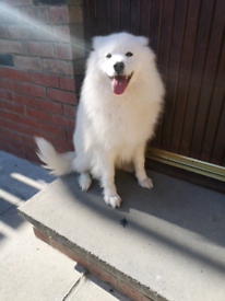 Samoyed female