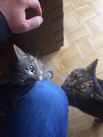 FREE - Two female fixed cats