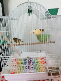 Two canaries birds (Including cage) up for sale