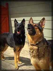 2 German Shepherds in need of a new home.