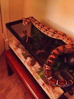 Very friendly boa for sale