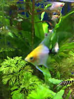 Freshwater Black & Yellow Angelfish