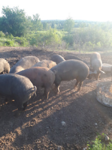 Berkshire X market weight pigs $280