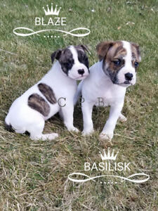 ALAPAHA BLUE BLOOD BULLDOG PUPPIES READY THIS WEEKEND