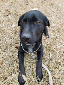 Midway, 3yrs F lab/fox hound. Texas rescue for adoption