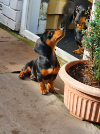 Beautiful Standard Daschund Puppies