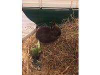 Baby Netherland dwarf rabbit
