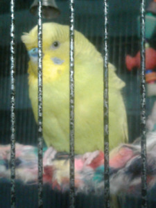 Perruches huppées  - Crested parakeet, $50 ch/ea