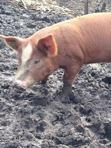 Wild boar/Hereford cross boar for sale