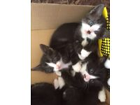 4 kittens for sale 1 male 3 female
