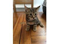 Tabby kittens 10 weeks old