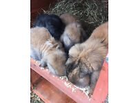 Pure bred French Lop Rabbits