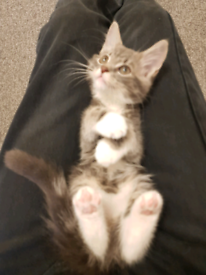Grey Tabby Kitten For Sale - Male