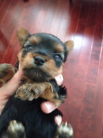 Pure Yorkshire Terrier puppies