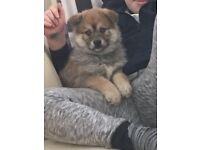 Stunning pomsky puppies avalible