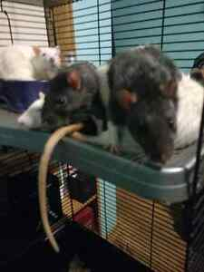 Fancy pet Rat's free to a good home! Cambridge Kitchener Area image 3