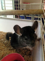 male chinchilla