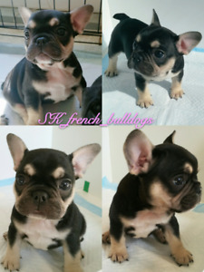 Registered Black & Tan Frenchie puppies for sale