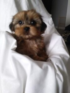 Morky Puppies for Sale