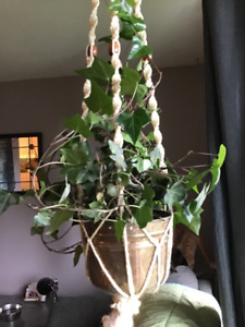 Beautiful ivy plant in very old brass pot.