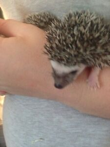 Female & Male Hedgehogs Available  Kawartha Lakes Peterborough Area image 1