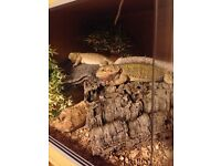 Dragons.. bearded dragons a pair (sisters)
