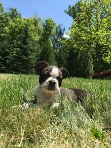 14 Week Old Female Boston Terrier + all Shots + Training + Extra