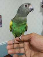 Hand raised Meyer parrot baby