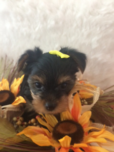 Yorkshire Terrier Puppies Ready for Their Forever Home