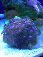 Zoanthids and Palyathoa Coral