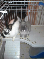 2 lapins males