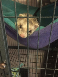 Ferret looking for home