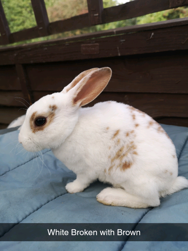 Pure Rex Baby Rabbits (Ready 28 /09 /2019) | in Sheffield, South Yorkshire  | Gumtree